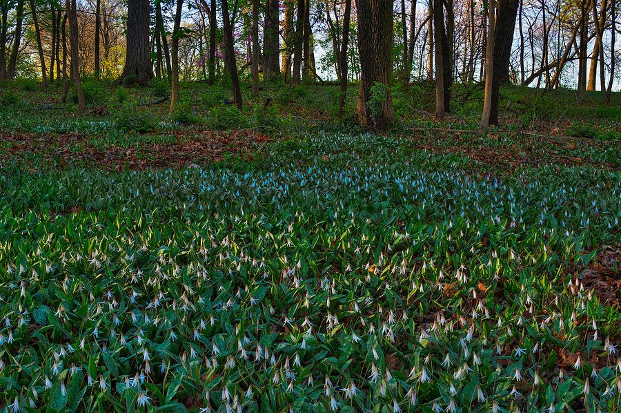 Illinois Photograph - Trout Lilies On Forest Floor by Steve Gadomski