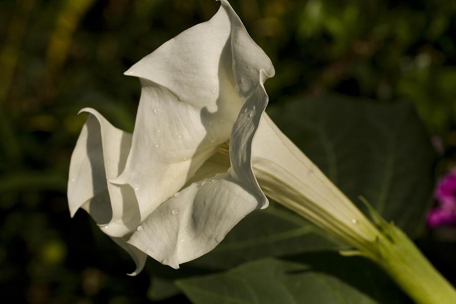 Trumpet Flower Photograph - Trumpet Flower by Mark Michel
