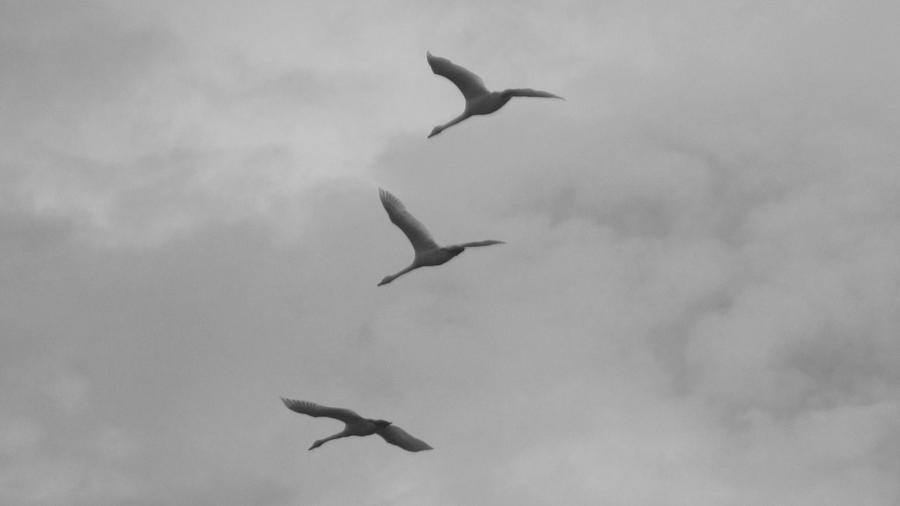 Trumpeter Photograph - Trumpeter Swans In Black And White by Karen Molenaar Terrell