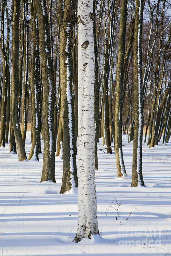 Trunk Of Birch Tree In Front Of Alder Trunks Photograph By