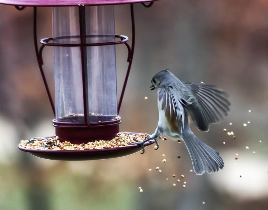 Tufted Titmouse Photograph - Tufted Seed Splash by Bill Tiepelman