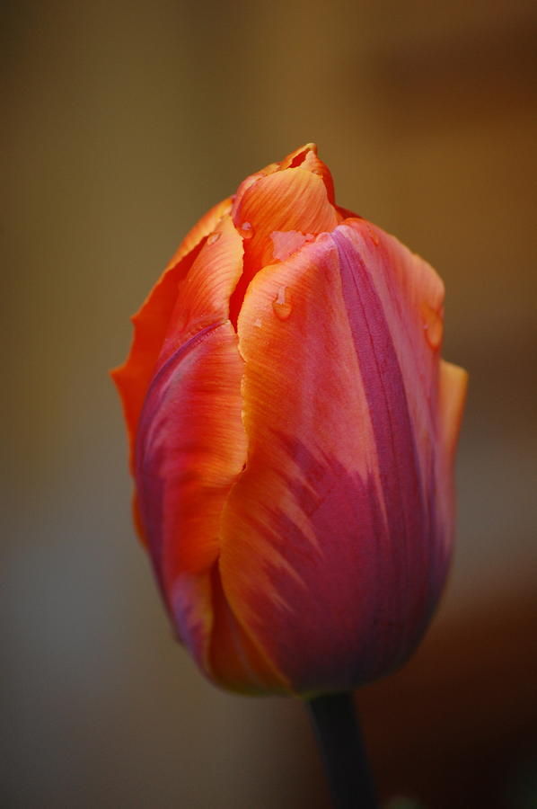 Pure Photograph - Tulip - Red Orange by Dickon Thompson