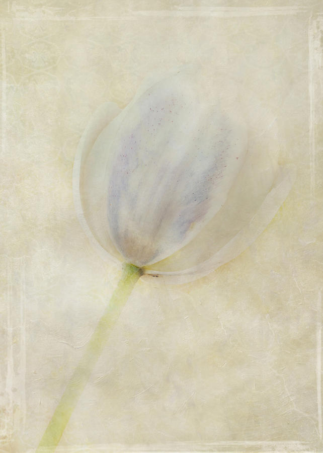 Flora Photograph - Tulip 1 by Marion Galt