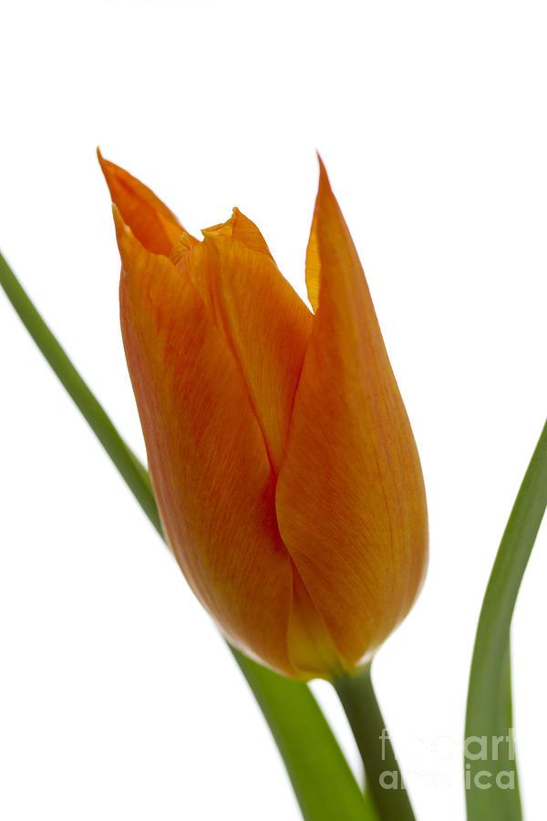 Tulip Photograph - Tulip -1 by Tad Kanazaki