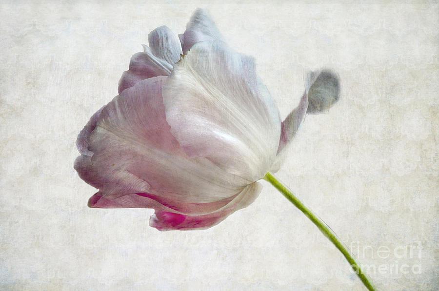 Tulip 2 Photograph