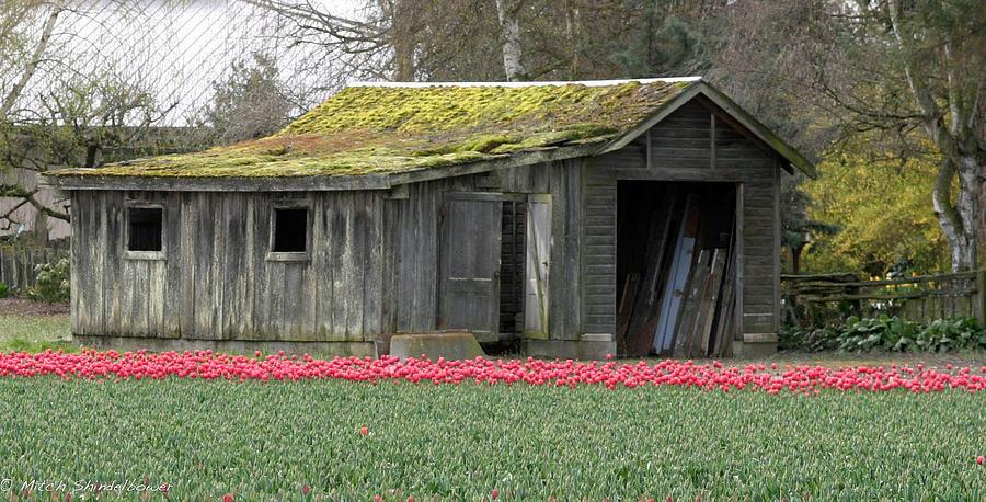 Tulips Photograph - Tulip Barn by Mitch Shindelbower