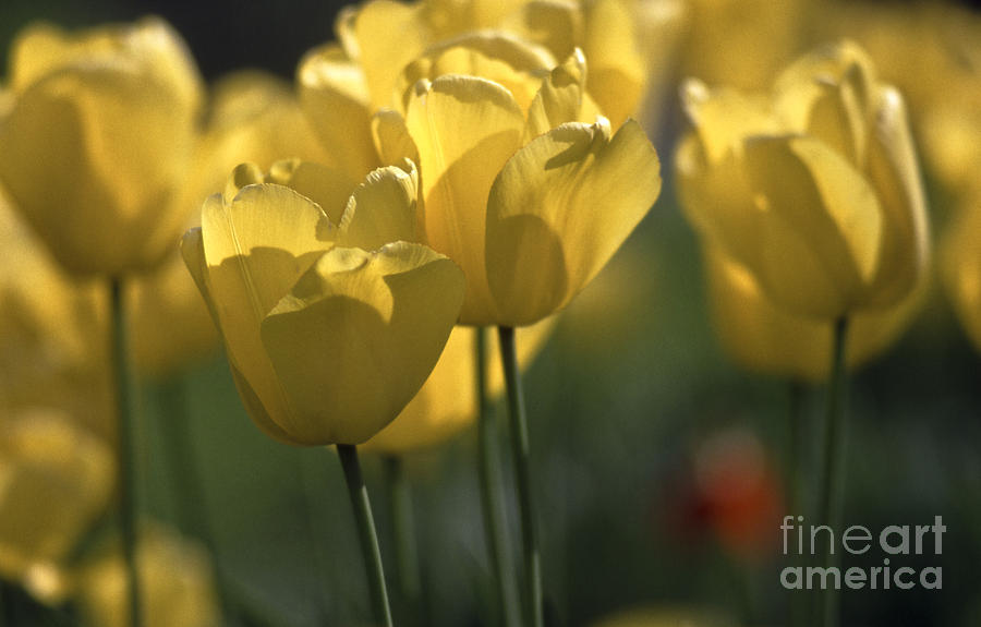 Tulip Bed In Yellow Photograph