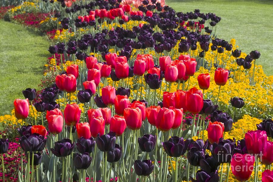 Tulip Circle Photograph
