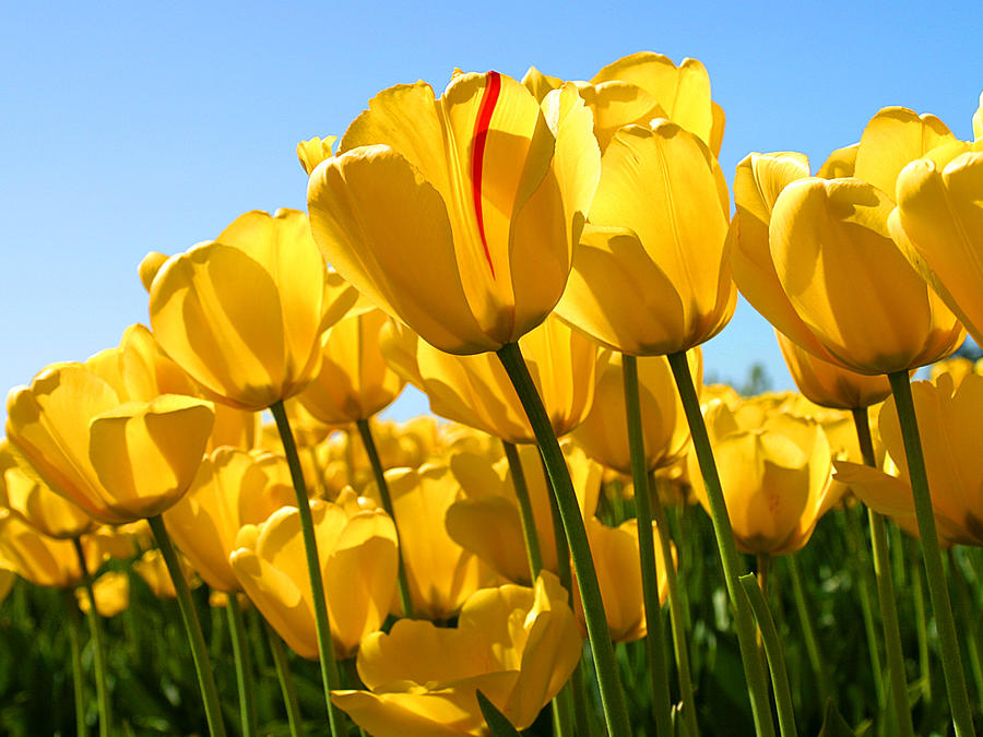 Flower Photograph - Tulip by Dhirendra  Jaiswal