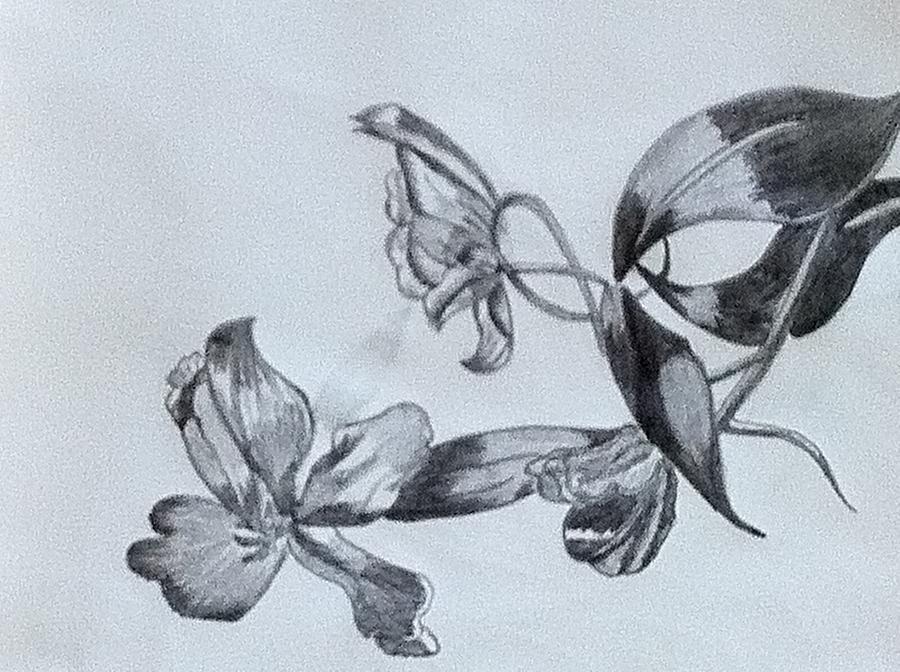 Tulip Drawing - Tulip Flower by Monika