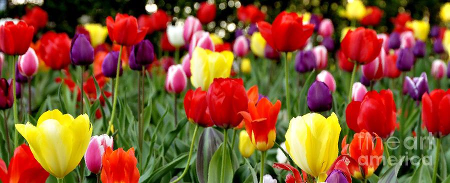 Tulip Garden Photograph - Tulip Garden University Of Pittsburgh  by Thomas R Fletcher