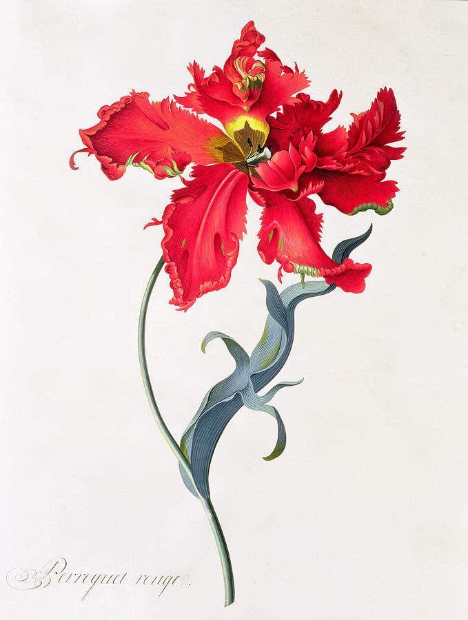Red Painting - Tulip Perroquet Rouge by Georg Dionysius Ehret