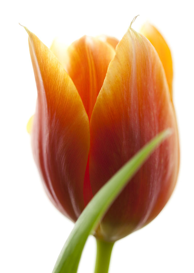Blume Photograph - Tulip Picture by Falko Follert