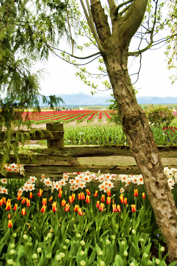 Tulips Photograph - Tulip Time In The Skagit Valley by Beverly Hanson