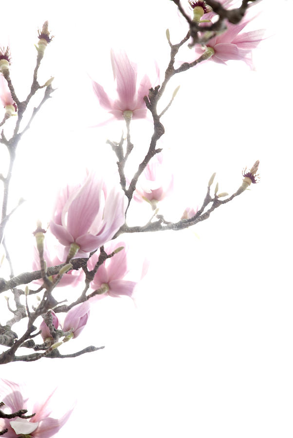 Pink Photograph - Tulip Tree by Jessica Wakefield
