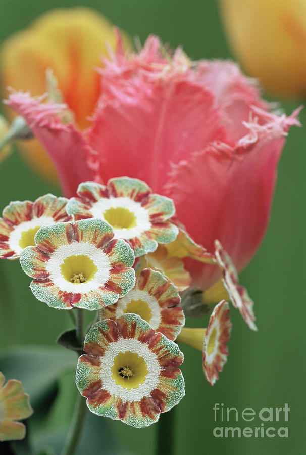 Auricula Photograph - Tulip (tulipa fancy Frills) by Archie Young