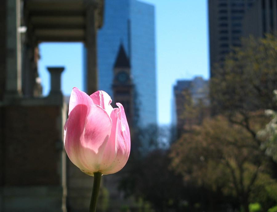 Toronto Photograph - Tulip With Toronto Old City Hall by Alfred Ng