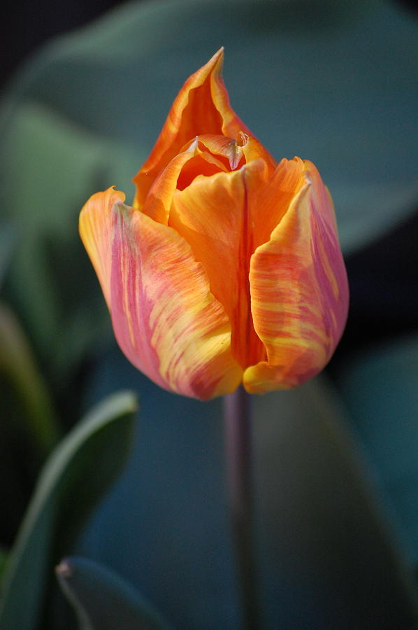 Pure Photograph - Tulips - Orange And Red by Dickon Thompson