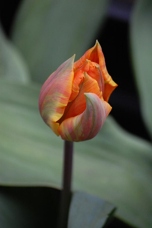 Pure Photograph - Tulips - Orange by Dickon Thompson