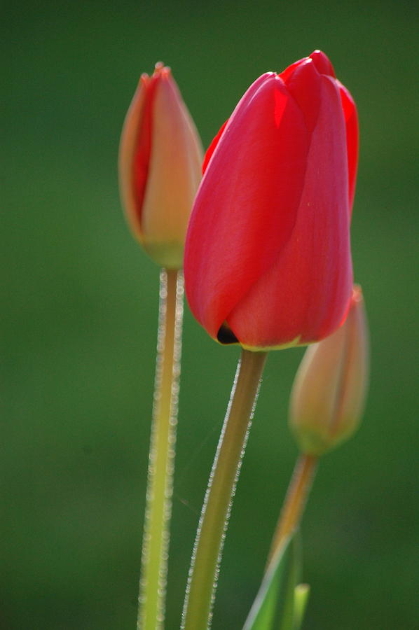 Pure Photograph - Tulips - Red by Dickon Thompson
