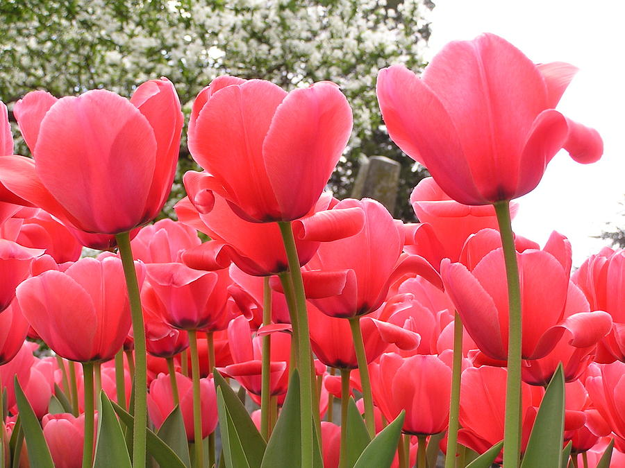 Tulips Photograph - Tulips by Andrea Drake