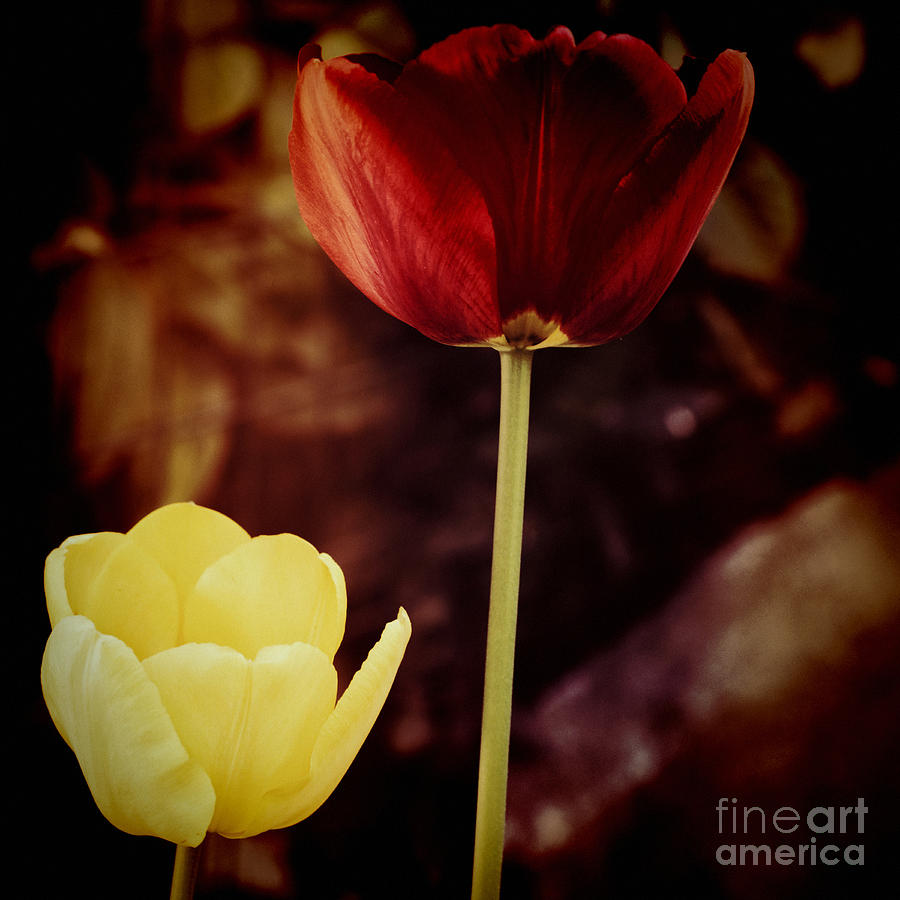 Tulip Photograph - Tulips At Dusk by Silvia Ganora