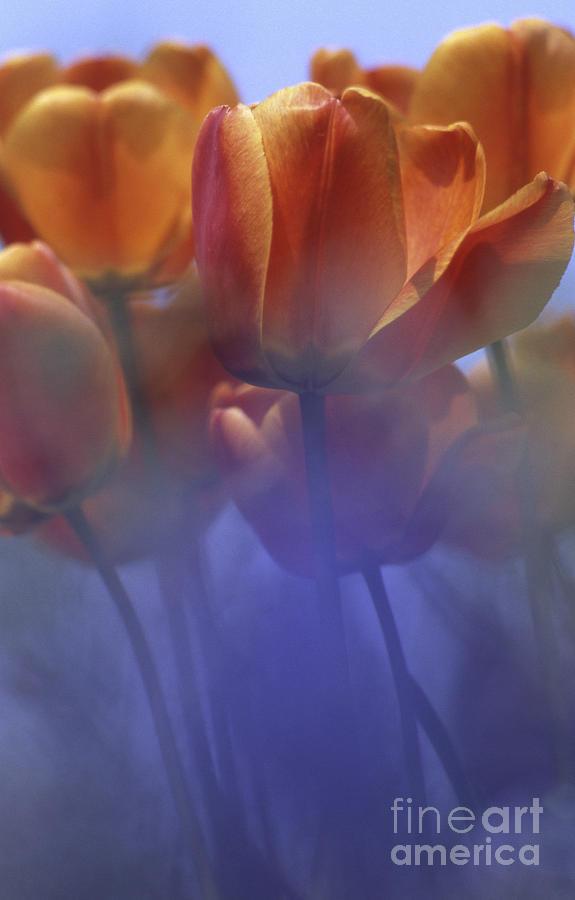 Tulips In Neighbors Garden Photograph