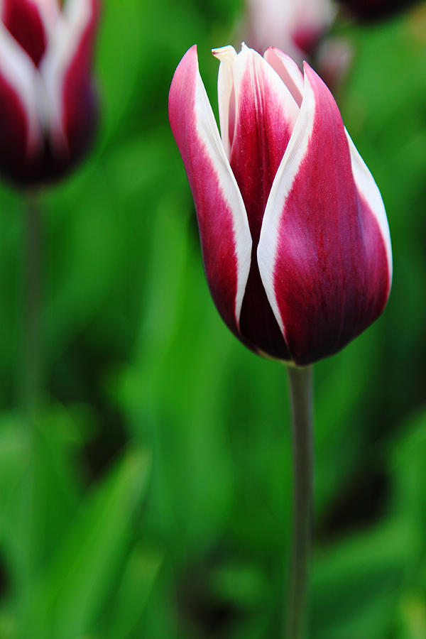 Tulips Photograph - Tulips In Purple by Kean Poh Chua