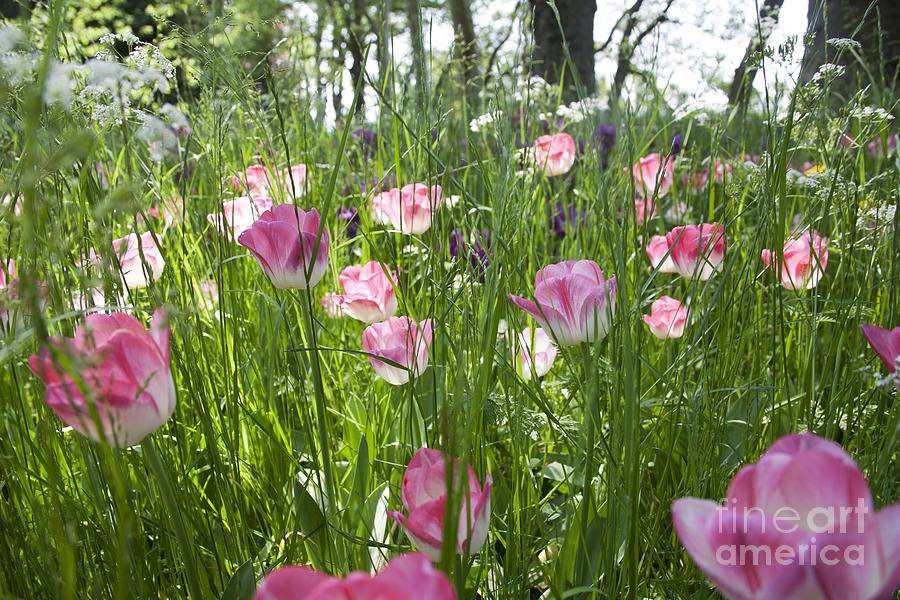 Tulips In The Meadow Photograph