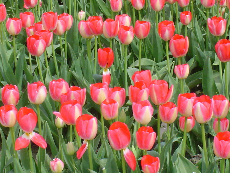 Tulips Photograph - Tulips by Michael Merry