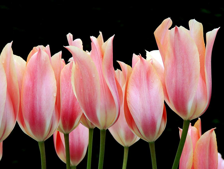 Tulip Photograph - Tulips by Nicola Butt