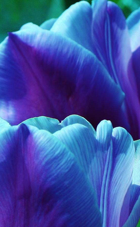 Flora Photograph - Tulips Of A Different Color by Bruce Bley