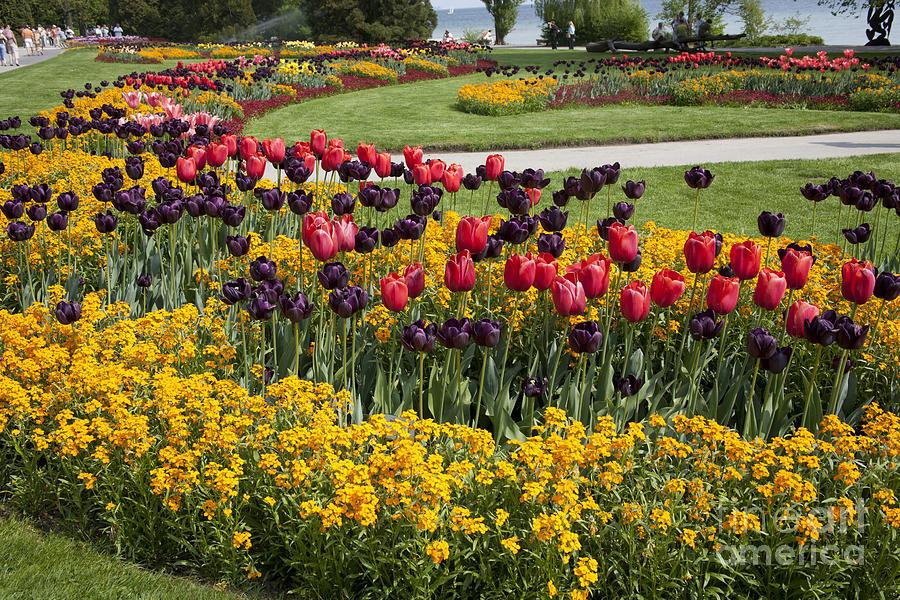 Tulips On Island Mainau Photograph
