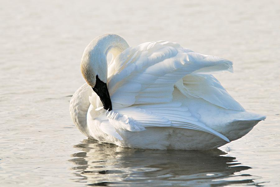 Nature Photograph - Tumpeter Swan by Larry Ricker