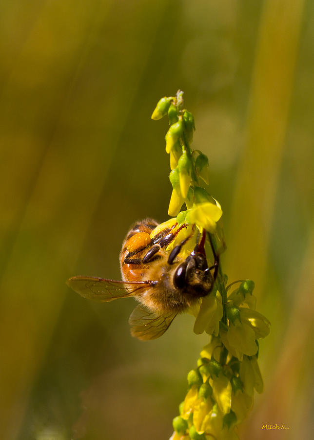 Tupelo Honey Photograph - Tupelo Honey by Mitch Shindelbower