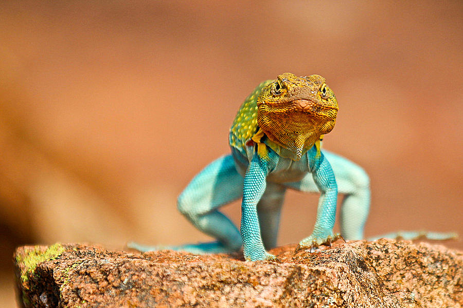 Lizard Photograph - Turquoise Brilliance by Elizabeth Hart