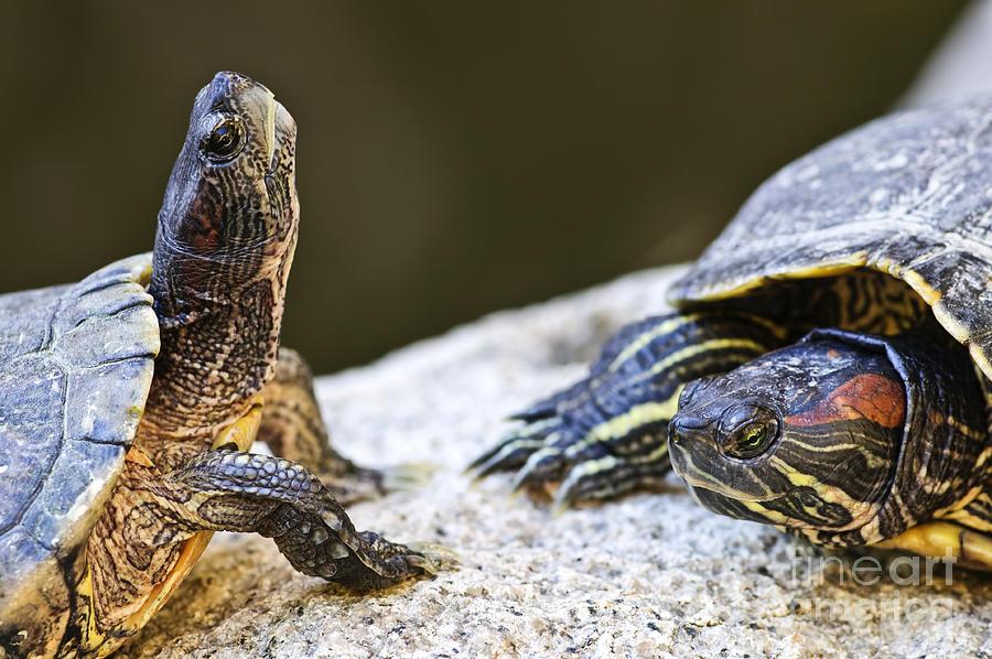 Turtles Photograph - Turtle Conversation by Elena Elisseeva