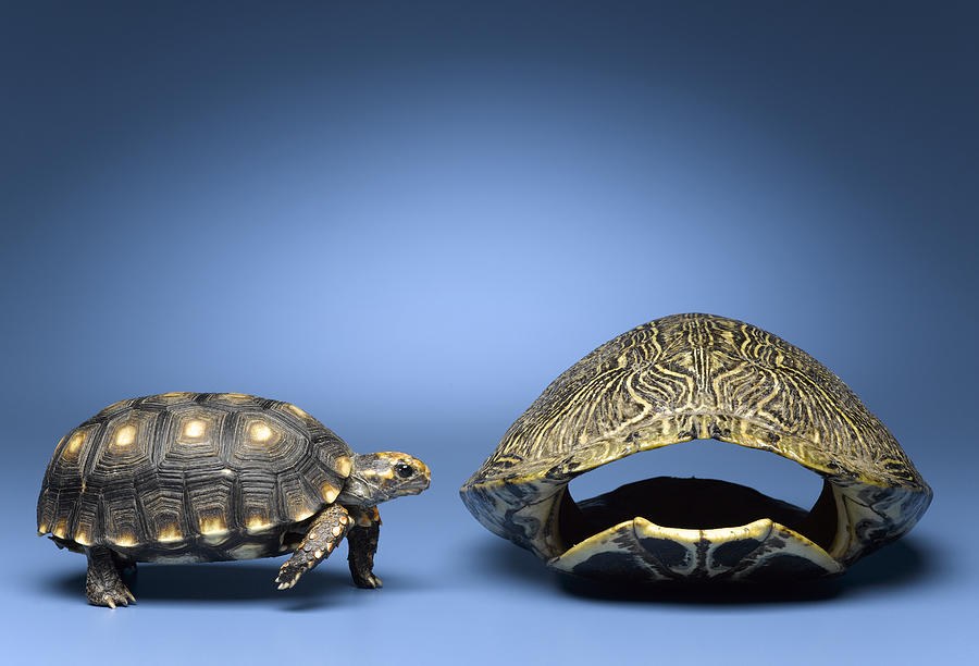 Horizontal Photograph - Turtle Looking At Larger, Empty Shell by Jeffrey Hamilton