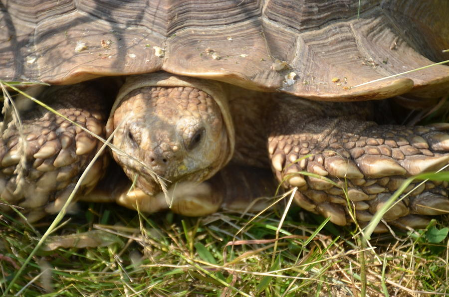 Turtle Photograph - Turtle by Randy J Heath