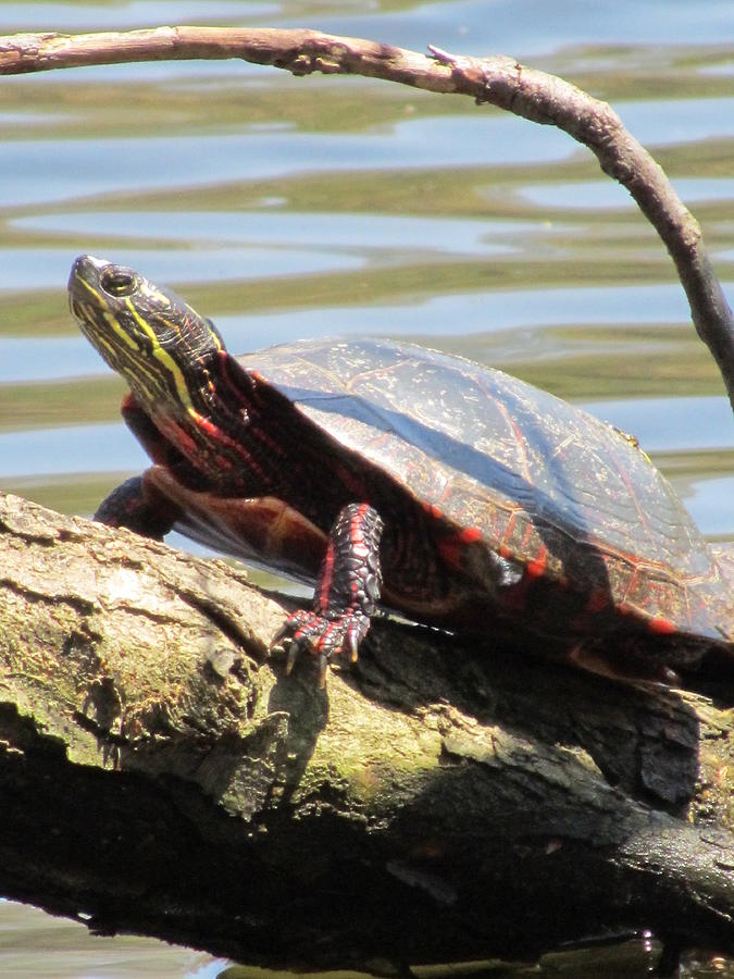 Turtle Photograph - Turtle by Todd Sherlock