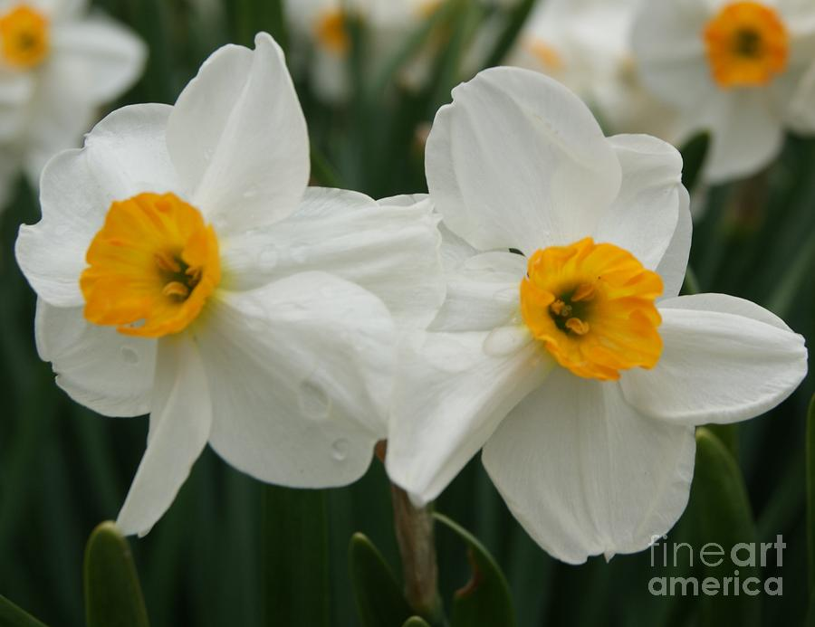 Daffodils Photograph - Twin Flowers by Tina McKay-Brown