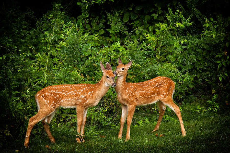 Deer Photograph - Twins by Karol Livote