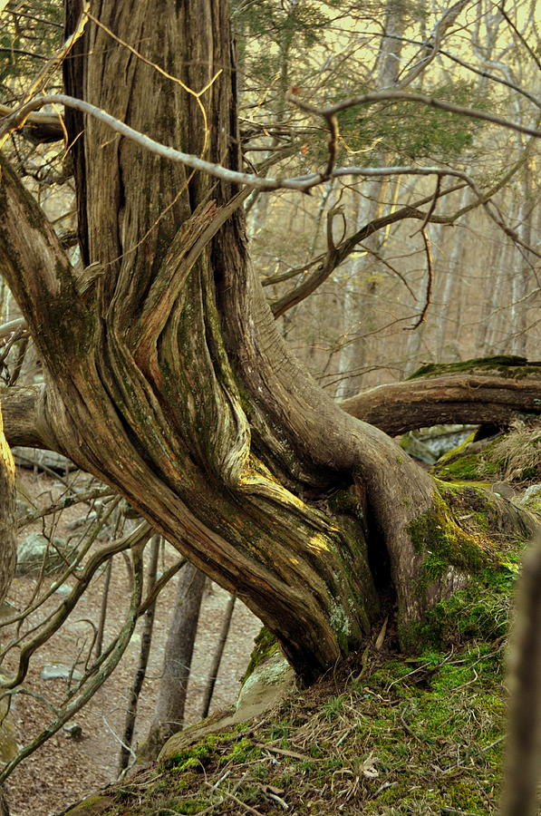 Tree Photograph - Twisted Cedar by Marty Koch