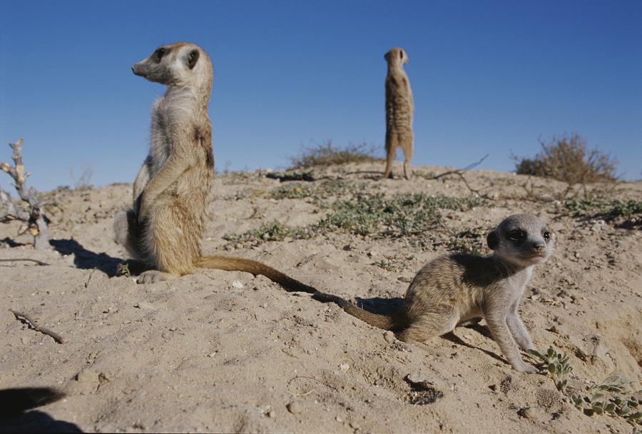 Africa Photograph - Two Adult Meerkats Suricata Suricatta by Mattias Klum