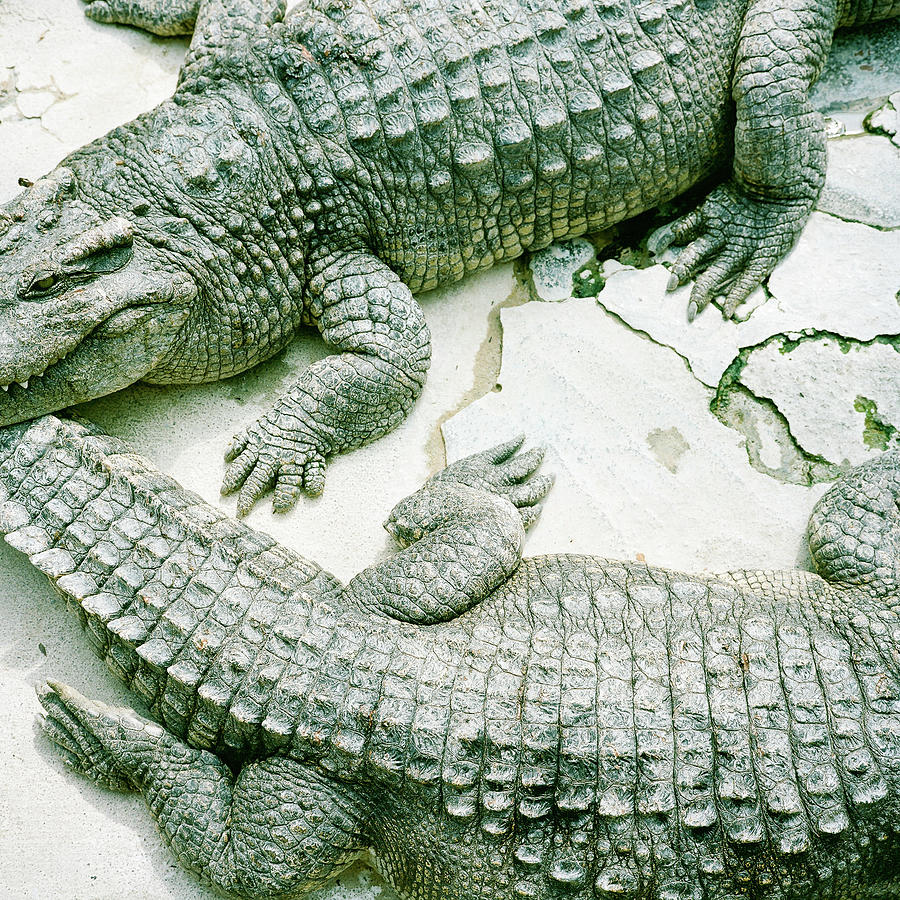 Square Photograph - Two Alligators by Yasushi Okano