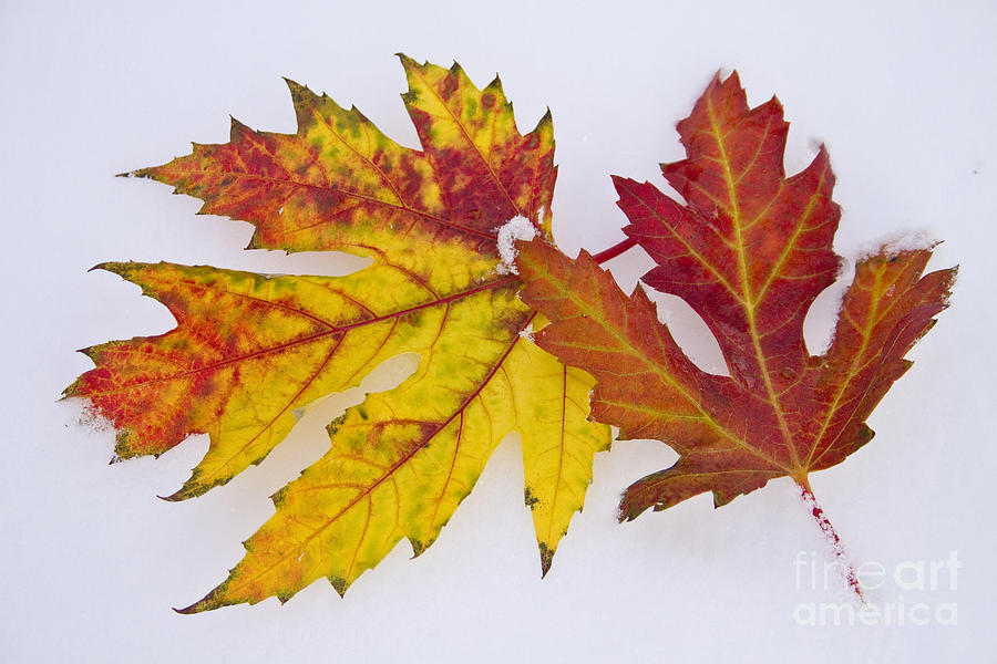 Snow Photograph - Two Autumn Maple Leaves  by James BO  Insogna