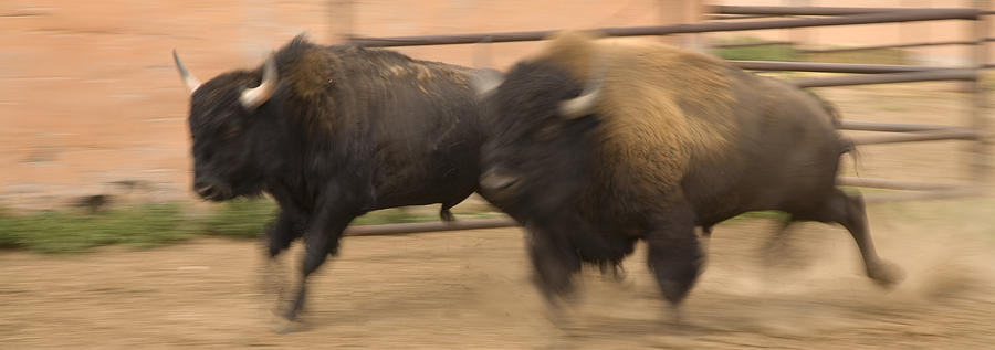American Southwest Photograph - Two Bison Race Each Other by Ralph Lee Hopkins