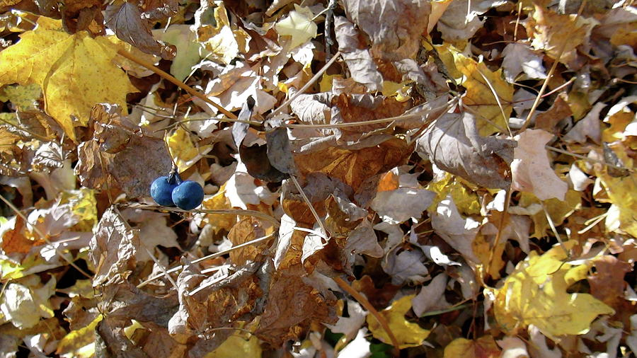 Leafs Photograph - Two Blue Berries by Mike Stouffer