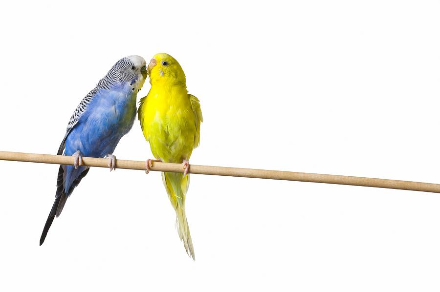 Two Budgies On A Perch Photograph By Corey Hochachka