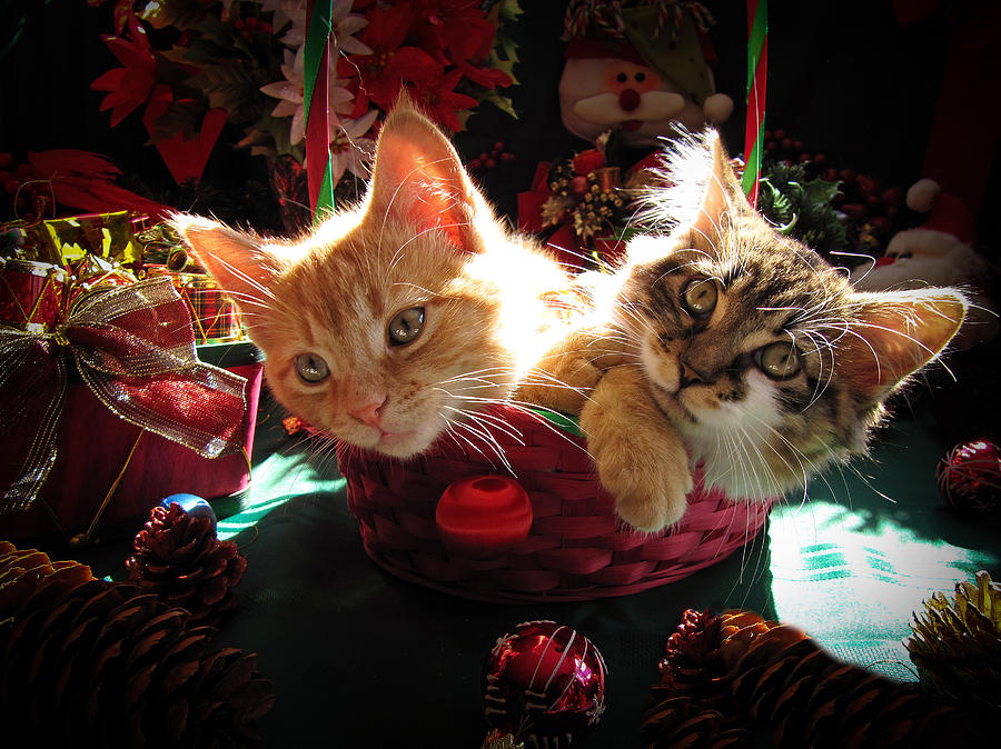 Two Cat Heads Are Better Than One - Anxious Christmas Kittens ...